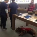 apple store 盲導犬