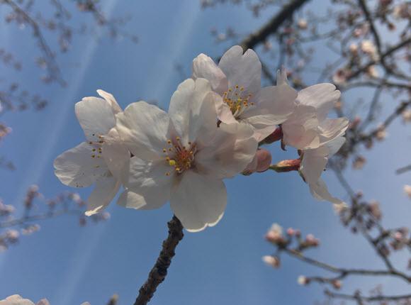 桜 撮影 テクニック Tips
