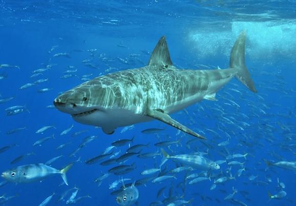 ホホジロサメ wikipedia